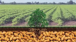 Peanut Legume Crops